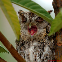 """A Tired Old Owl"" - Screech Owl"
