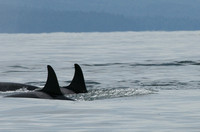 """Heading North"" - Orcas from J Pod heading norht to the Fraser River for a salmon lunch."