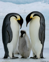 """Now Listen To Mom & Dad!"" - Emperor Penguin Family"