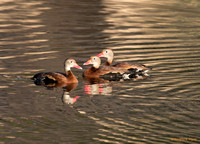 """Let's Talk About It"" - Whistling Ducks"