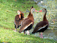 """ I Love The Colour of Your Lipstick"" Whistling Ducks"