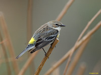 """Waiting for a Mate"" - Yellow-Rumped Warbler"