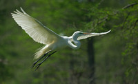 """White Flight"" - Great Egret"