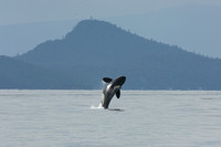 """A Little Higher & I'll Reach the Top"" - Orca on his way to Fraser River"