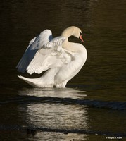 """Showing Off"" - Mute Swan"