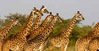 Giraff of Central Africa