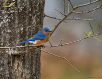 """A Sign of Spring"" -- Eastern Bluebird"