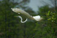 """Flying Angel"" - Great Egret"