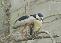 """Excuse Me Buster!"" -- Black-Crowned Night Heron"