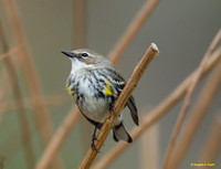 """Singing for a Mate"" - Yellow-Rumped Warbler"