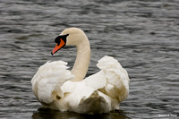 """Do You Like My Feathers?"" - Mute Swan"