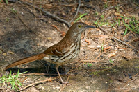 """Thrashing Around for Food"" - Brown Thrasher"