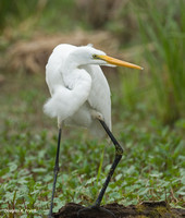 """Too Much to Drink for this Egret"" - Great Egret"
