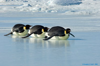 """Syncronized Swimming"" - Emperor Penguins"