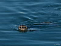 """Close Encounters"" - of a Habour Seal Kind"