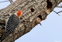 """Who's There?"" -- Red-Bellied Woodpeckers"