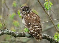 """I've Got My Eye on You!"" -- Barred Owl"