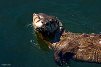 """Curious George"" - Sea Otter"