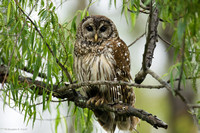 """Getting Ready for an Afternoon Nap"" -- Barred Owl"