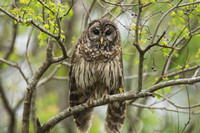 """Hoooo You Looking At?"" - Barred Owl"