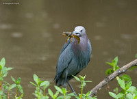 """It's Crawfish Season at Last!"" - Little Blue Heron"