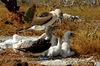 """It's A Family Affair"" -- Blue Footed Boobies"