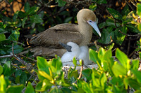 """Protective Mother -- Red Footed Boobie with Chick"