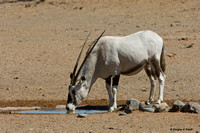 """White As A Ghost"" - Albino Oryx"