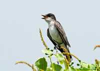 """Still Singing for a Mate"" - Eastern King Bird"