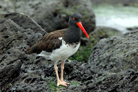 """Where's That Oyster - I'm Hungry?"" - American Oyster Catcher"