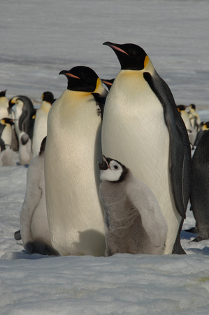 """Any More Food for a Hungry Penguin Chick?"""