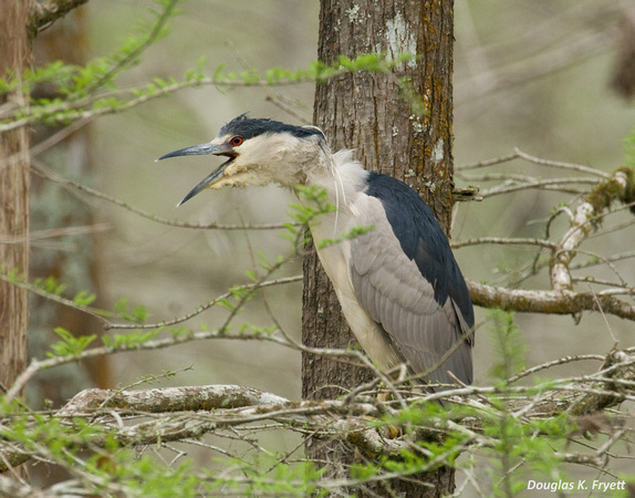 """Help!"" -- Black-Crown Night Heron"
