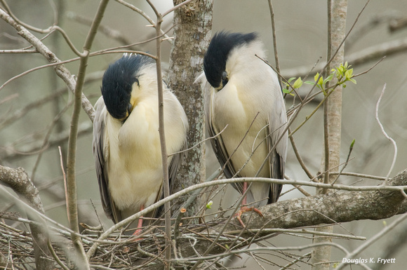 """Synchronized Sleeping"" - Black Crown Night Herons at Their Nest"