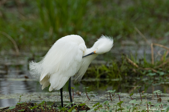 """Spring Cleaning"" - Great Egret"