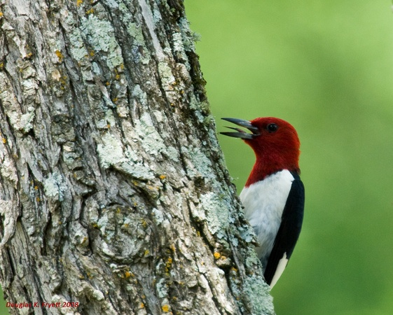 """Woody"" - The Red-Headed Woodpecker"