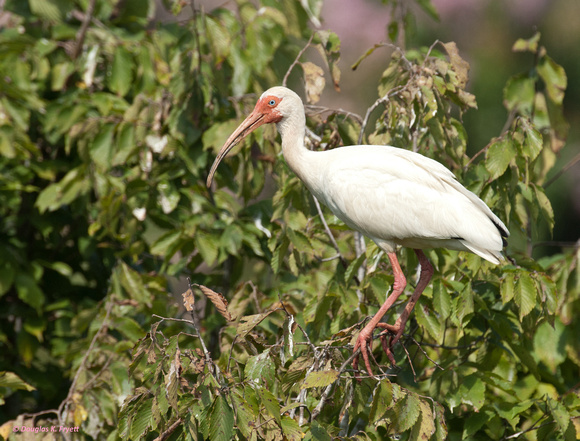 """Just Hang'n Out"" - White Ibis"