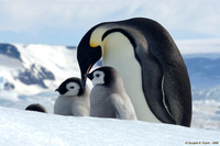 """Now, Which One Is Mine?"" - Emperor Penguins"