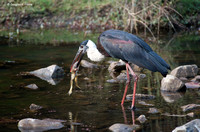 """I Know What's For Dinner Tonight!"" - Stork with a frog ... for dinner!"