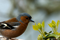 """Smells Like ... "" - Chaffinch - Male"