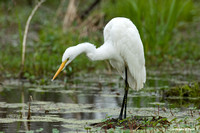 """Looking for Lunch"" - Great Egret"