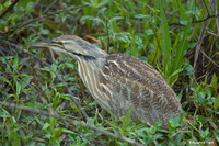 """There's Lunch In Here Somewhere!"" - American Bittern"